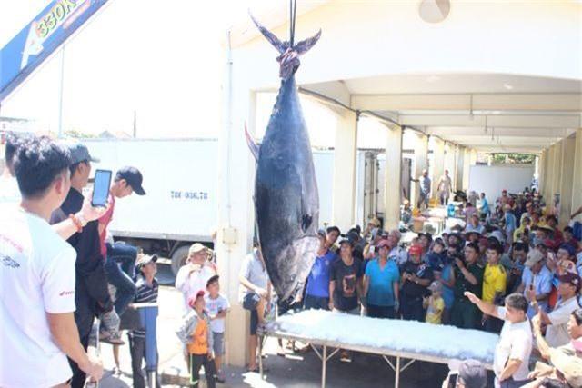 """Ngư dân Phú Yên câu được 2 con cá ngừ vây xanh """"siêu khủng"""" tổng trọng lượng gần 600kg - 2"""