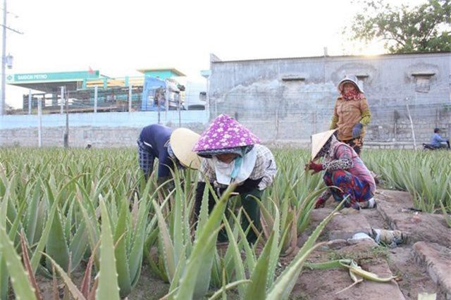 Nha đam được mùa lại được giá, nông dân Ninh Thuận phấn khởi - 3