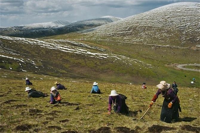 Mùa hè, khi tuyết tan là mùa người dân Nepal lên núi thu hoạch Đồng trùng hạ thảo (Ảnh: TL)