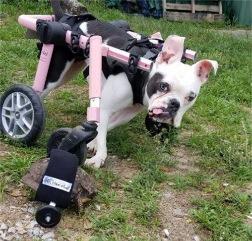 Sáng tạo xe lăn cho rùa bị liệt - Ảnh 1.