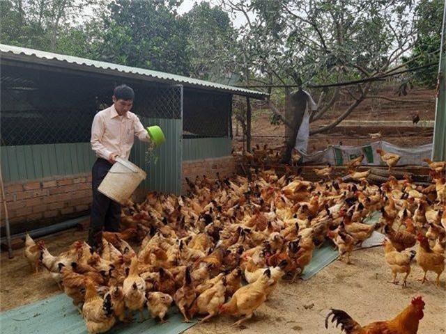 Mô hình nuôi gà dược liệu của anh Huỳnh Thanh Tú.