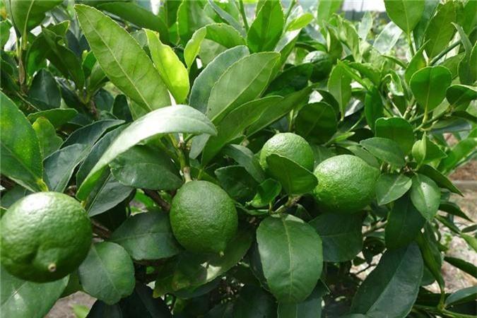 Nhà nào trồng cây chanh thì cũng như có bảo bối chữa bệnh cho trẻ - Ảnh 1.