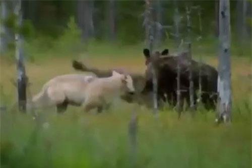 Ra tay hạ gục hươu to trong tích tắc nhưng gấu xám đành trơ mắt nhìn đàn sói hoang cướp bữa ăn.