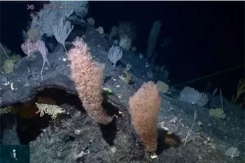 Nhiều động thực vật biển quý hiếm được phát hiện ở phía Nam rãnh Mariana