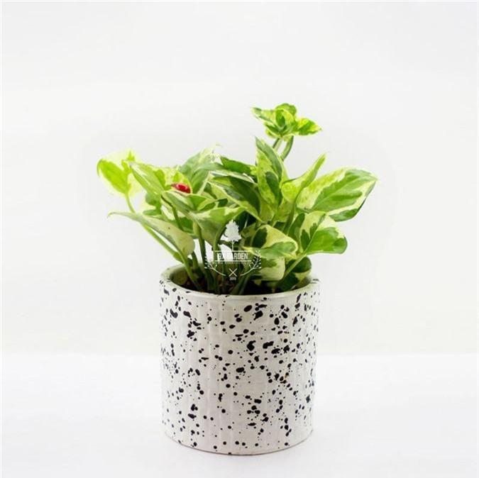 Cẩn trọng khi trồng những cây cảnh ưa chuộng trưng trong nhà nhưng cực độc nếu ăn phải - Ảnh 2.