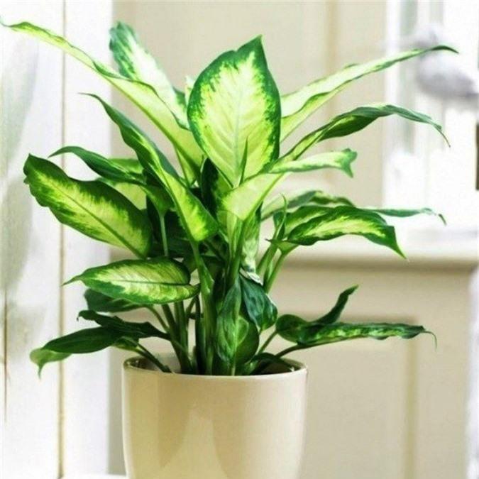 Cẩn trọng khi trồng những cây cảnh ưa chuộng trưng trong nhà nhưng cực độc nếu ăn phải - Ảnh 4.