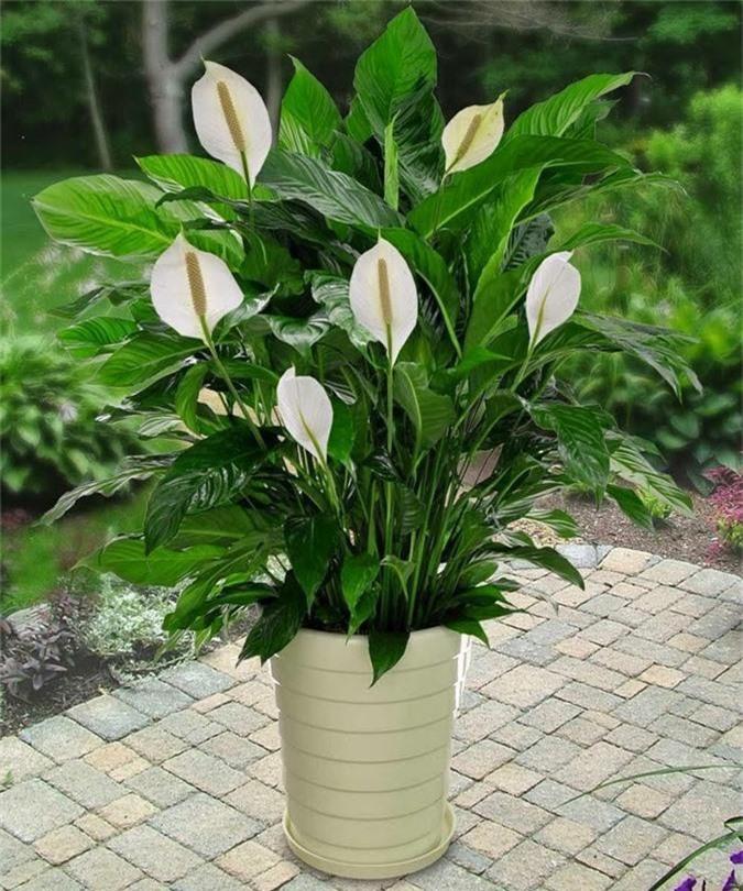 Cẩn trọng khi trồng những cây cảnh ưa chuộng trưng trong nhà nhưng cực độc nếu ăn phải - Ảnh 7.