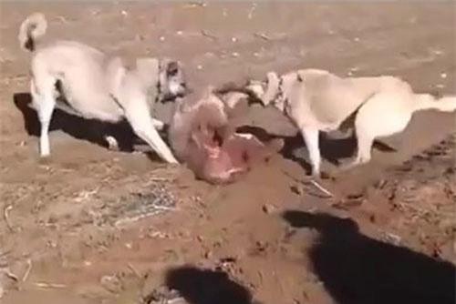 Chó Kangal được dùng để bảo vệ gia súc khỏi các loại động vật ăn thịt.