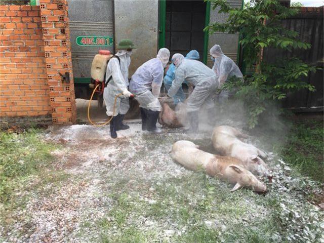 Quảng Trị tiêu hủy hàng trăm con lợn, Đắk Lắk xuất hiện thêm các ổ dịch mới - 2