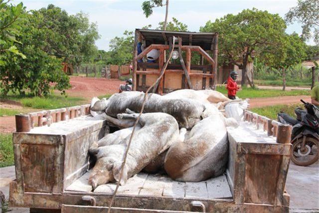 Quảng Trị tiêu hủy hàng trăm con lợn, Đắk Lắk xuất hiện thêm các ổ dịch mới - 3