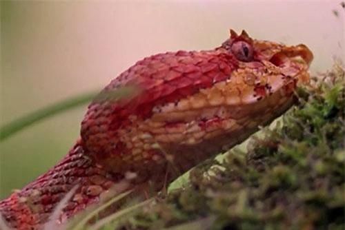 Rắn mi mắt là một trong những loại rắn kịch độc, nguy hiểm nhất trên thế giới.