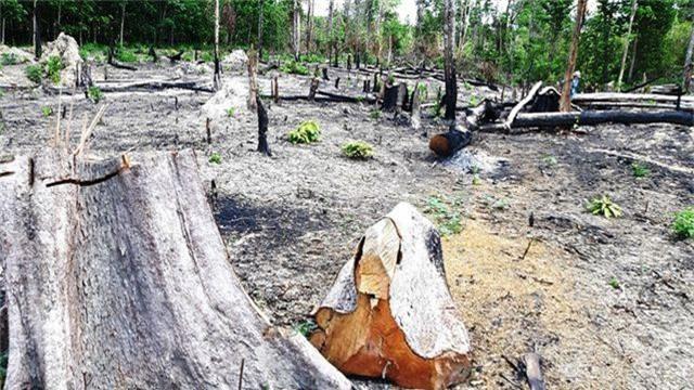 Ban quản lý rừng Đức Cơ để mất hơn 9.000ha rừng  - 2
