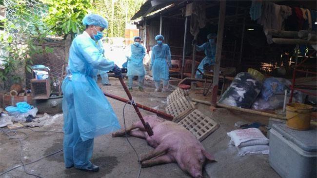 Lực lượng chức năng triển khai tiêu hủy đàn heo có triệu chứng điển hình của bệnh dịch tả heo châu Phi của hộ bà Lê Thị Ngọc Cẩm (ảnh QD)