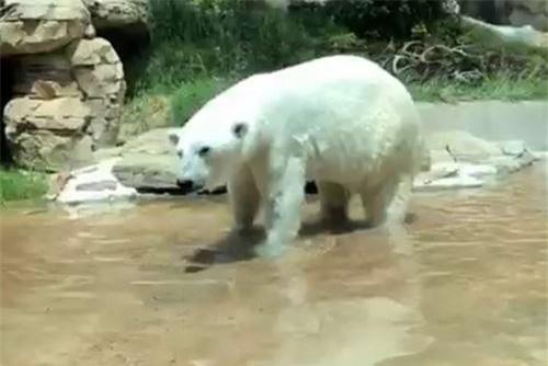 Gấu Bắc Cực nhanh chóng tiến đến 'bữa ăn' bỗng dưng rơi xuống trước mặt.