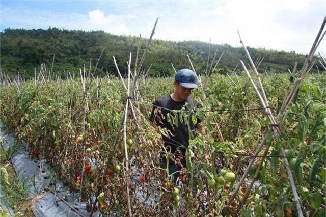 Hơn 3ha cà chua chuẩn bị thu hoạch nghi bị phun thuốc diệt cỏ - 1