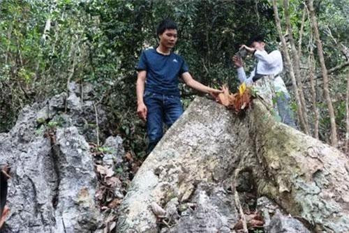 Một cây gỗ nghiến mới bị chặt, gốc vẫn còn tươi. Ảnh: Báo Nhân dân.