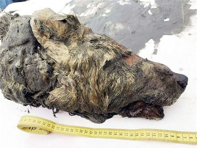 Phát hiện đầu sói thời kỳ băng hà bảo tồn hoàn hảo nhất ở Siberia - 1