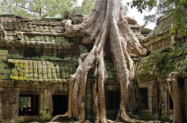 """Rễ cây cổ thụ vặn xoắn như trăn khổng lồ muốn """"nuốt chửng"""" ngôi đền - 1"""
