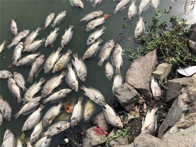 Tình trạng cá chết ở hồ trung tâm Đà Nẵng ngày càng nhiều - 3