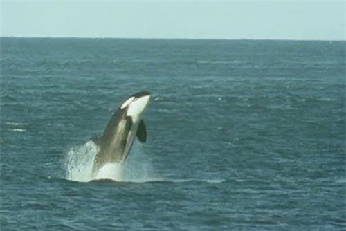Khoảnh khắc cá voi sát thủ lao vào bờ tóm gọn sư tử biển.
