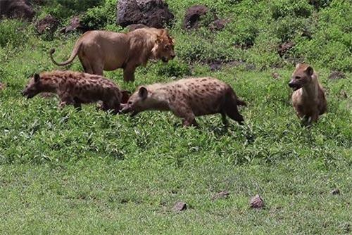 Cuộc chiến giành mồi đầy căng thẳng giữa sư tử và linh cẩu.