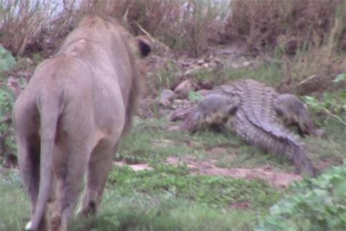 Sư tử đuổi cá sấu.