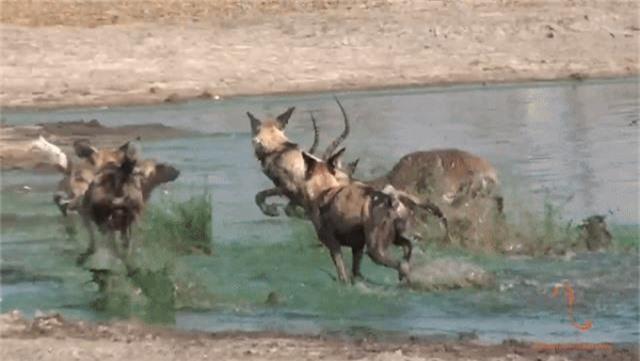 Thoát khỏi hàm cá sấu, linh dương bị chó hoang chặn đường đoạt mạng - 1