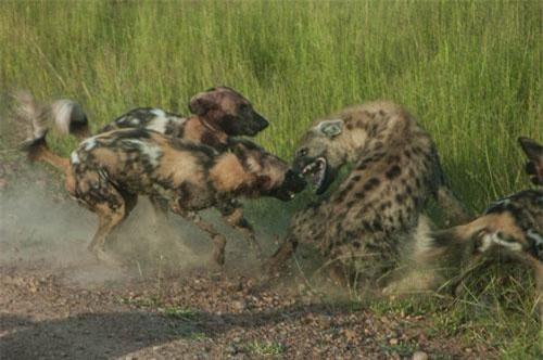 Linh cẩu bị bầy chó hoang vây đánh.