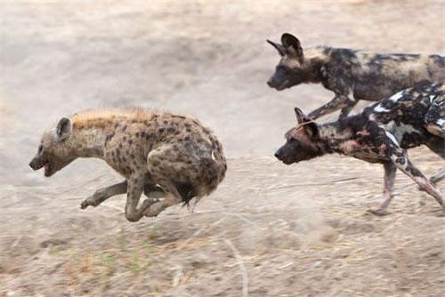 Linh cẩu phải bỏ chạy khi bị bầy chó hoang truy sát.
