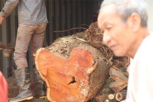 Kế hoạch bán đấu giá hơn 5 tấn gỗ sưa đỏ vào ngày mai buộc phải hoãn lại (Ảnh: Nguyễn Trường).