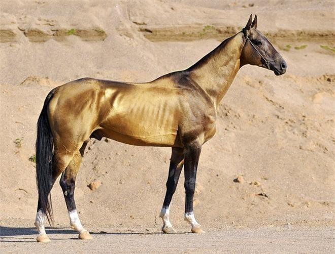Ngựa Hãn huyết (nguồn: Internet)