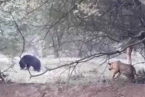 Hổ rình để bắt gấu.