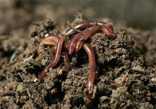 Giun đất có khoảng 2500 loài, thường sống ở những khu vực đất ẩm ướt, ruộng đồng, nương rẫy, đất hoang sơ,... nơi có nhiều mùn hữu cơ. Ảnh: baotreonline.