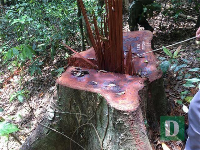 Vụ phá rừng gỗ quý tại rừng di sản: Kết luận bất ngờ của UBKT Tỉnh ủy Quảng Bình - 1