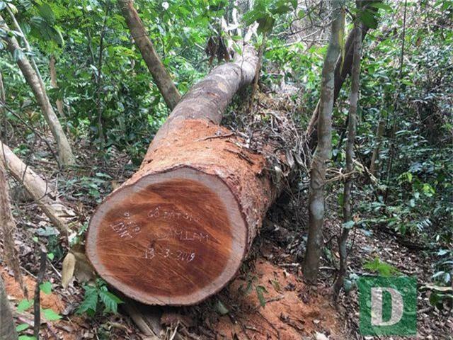 Vụ phá rừng gỗ quý tại rừng di sản: Kết luận bất ngờ của UBKT Tỉnh ủy Quảng Bình - 2
