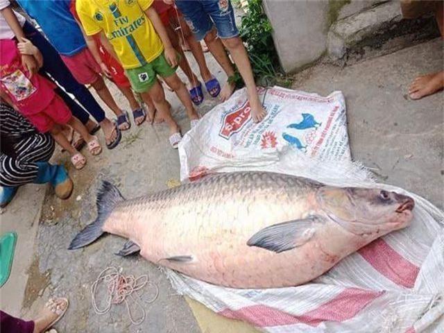 """Bắt được cá trắm đen """"khủng"""" nặng 50kg, dài 1,6m ở Yên Bái - 3"""