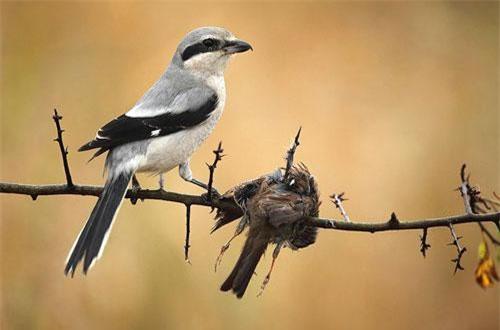 Cảnh chim bách thanh găm xác con mồi vào gai nhọn.