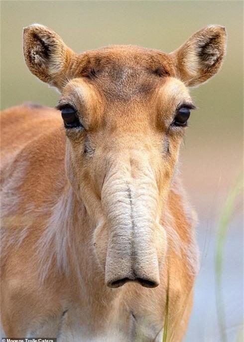 Hình ảnh hiếm hoi về loài linh dương từ kỷ băng hà - Ảnh 1.