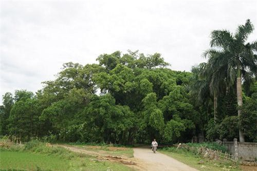 Cây sanh cổ thụ nằm ở đầu làng bản Suối Cốc, dưới chân núi của huyện Lương Sơn