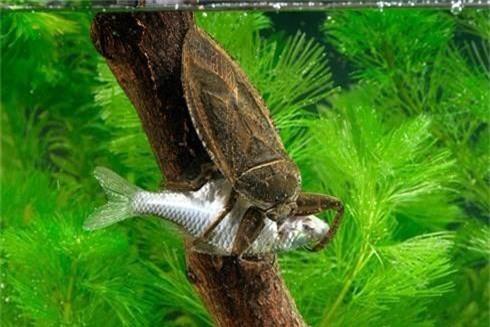 Bọ nước bắt cá