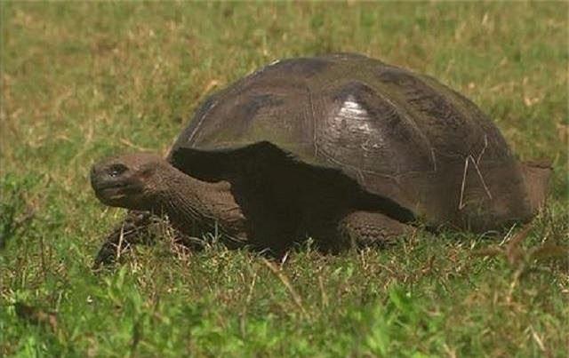 Rùa Galápagos.