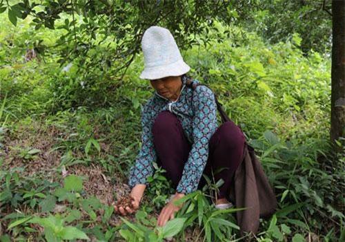 Ngày nào bà Hoàng Thị Tân cũng cùng một số người dân trong thôn tỏa ra khắp canhsrừng hồi để mót những bông hoa hồi còn sót lại dưới gốc.