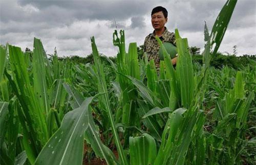Nạn sâu keo phá hại hơn 5.000 ha diện tích ngô trên địa bàn tỉnh Gia Lai