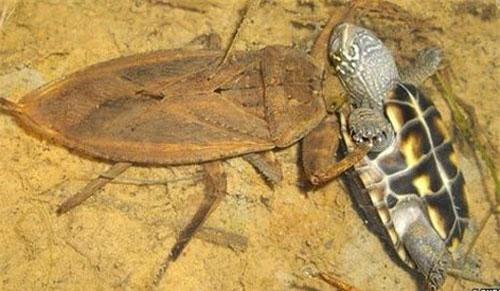 Bọ nước tấn công rùa.
