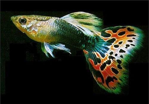 Tờ báo về cá lâu năm bậc nhất của Mỹ, Tropical Fish Hobbyist, số tháng 3/2004 chỉ đích danh cá bảy màu là nguy hiểm nhất hành tinh