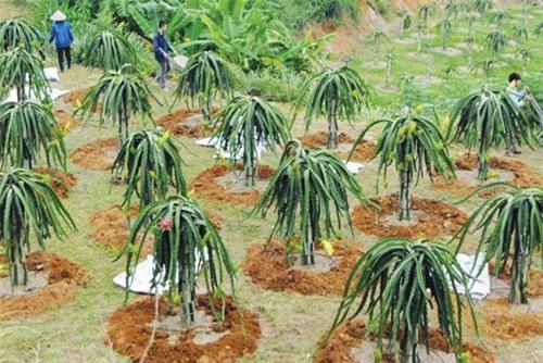 Công nghệ trồng thanh long của Việt Nam chưa đáp ứng được yêu cầu của khách hàng, nên giá xuất khẩu chưa cao.