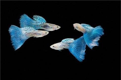 Loài cá đẹp long lanh nhưng nguy hiểm nhất thế giới - ảnh 3
