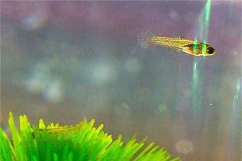 Loài cá đẹp long lanh nhưng nguy hiểm nhất thế giới - ảnh 6