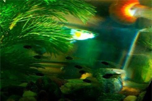 Loài cá đẹp long lanh nhưng nguy hiểm nhất thế giới - ảnh 9