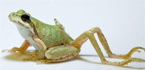 Những con ếch xuất hiện biến dị bất thường. (ảnh: Wikipedia).